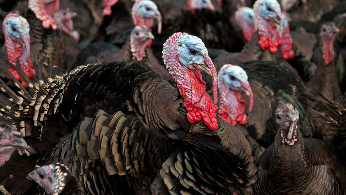 Turkey Farming